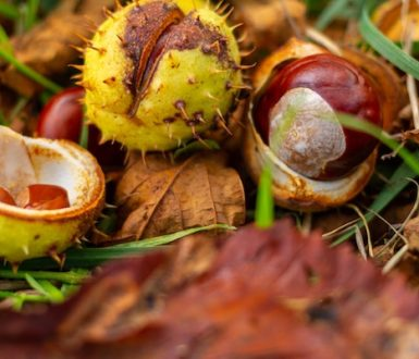 Conkers lying in grass and fallen leaves. Conkers are the fruit of the horse chestnut tree