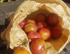 Paper bag filled with Victoria plums