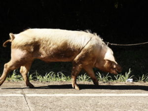 A pig on a lead
