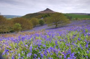 Bluebells on a slope at Roseberry Topping,Middlesbrough