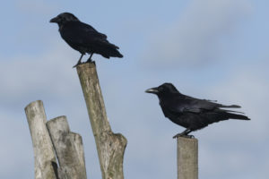 Crows perched on wooden poles by the coast